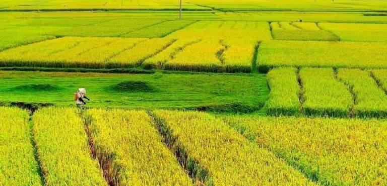 Những thửa ruộng chín vàng