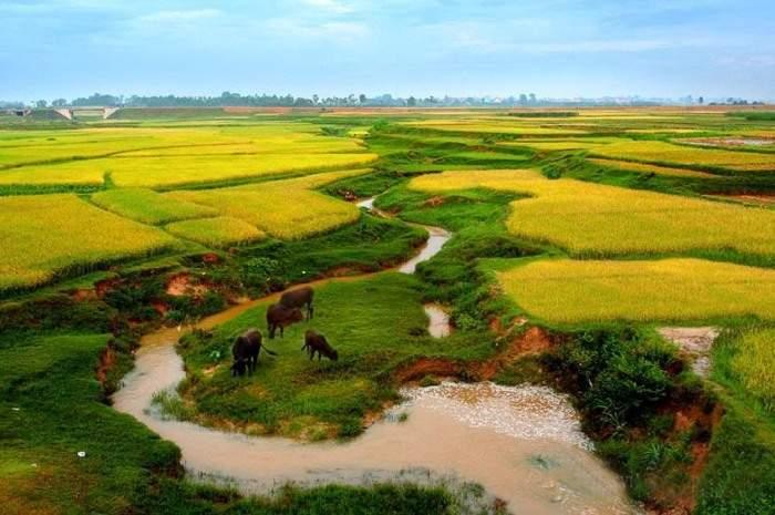 Đàn bò đang gặm cỏ bên đồng lúa chín