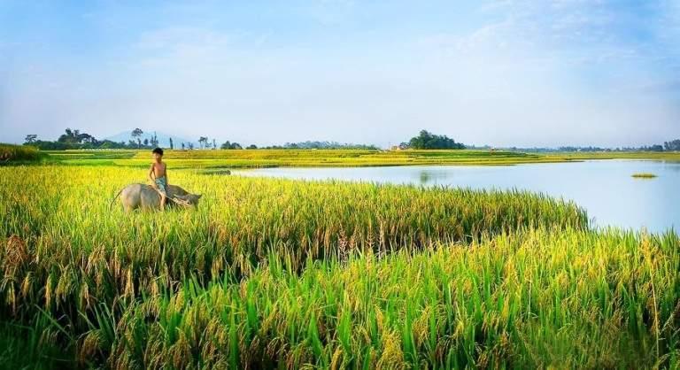 Chăn trâu bên ruộng lúa