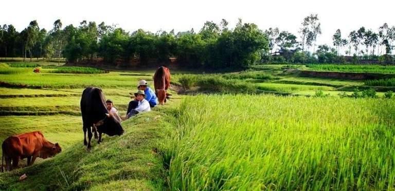 Đàn bò gặm cỏ bên bờ ruộng lúa