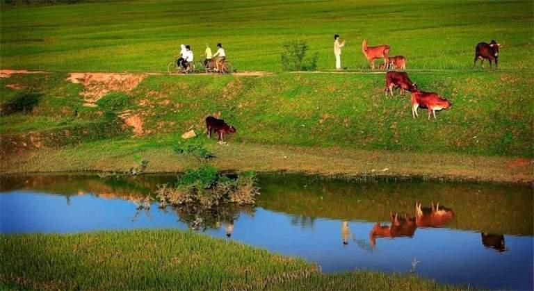 Đàn bò và lũ trẻ bên triền đê