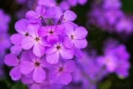 Vẻ đẹp Của Màu Hoa Violet Csty Chuyên Gia Tư Vấn Tâm