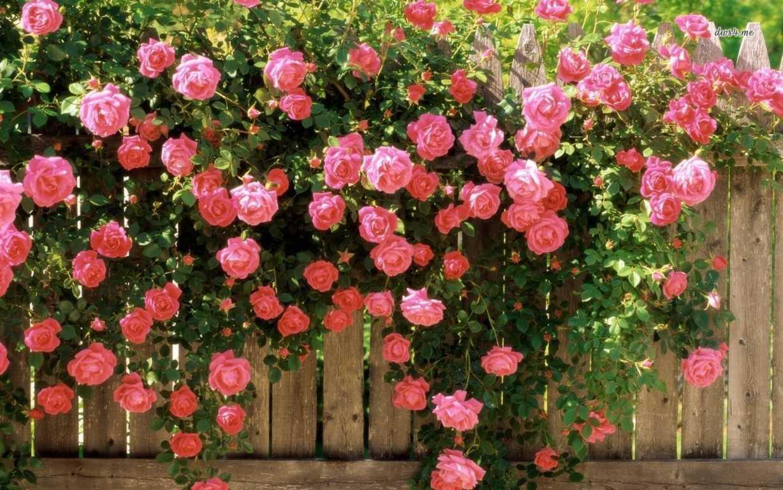 Image result for hoa hồng sớm mai