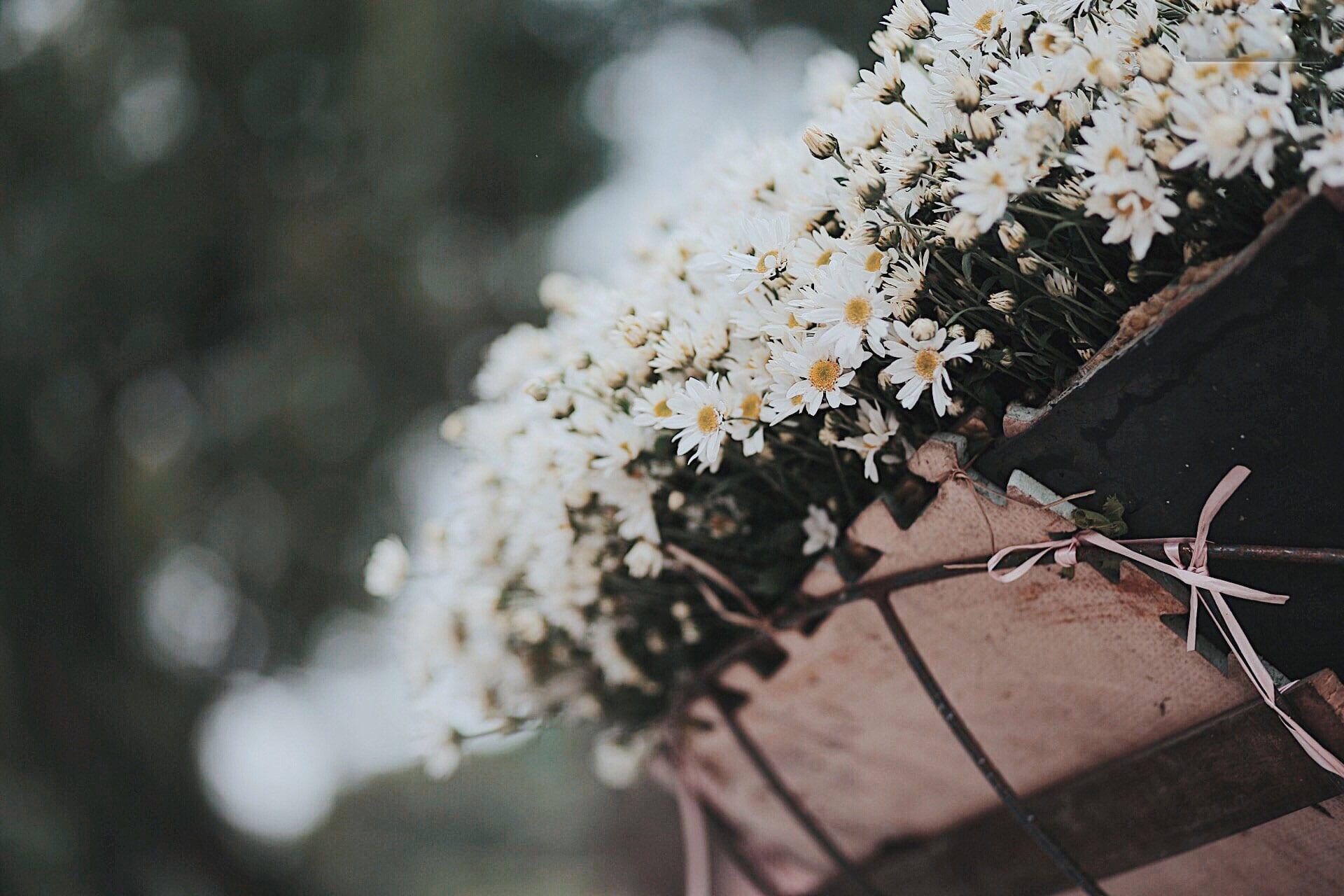 cúc họa mi, mùa thu hà nội, cúc họa mi tháng 11, bộ ảnh cúc họa mi, cua so tinh yeu
