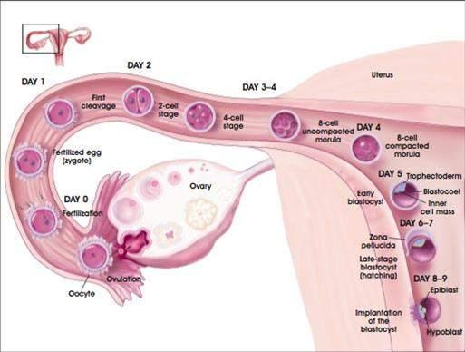 giai đoạn, chu kì kinh nguyêt, thay đổi, niêm mạc tử cung, rụng trứng, Estrogen,Progesteron