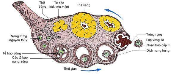 buồng trứng, nội tiết, noãn bào, rụng trứng, tử cung, kinh nguyệt, hoàng thể, niêm mạc hoài thai,