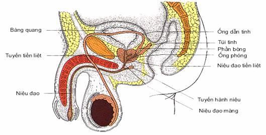 dịch sinh dục nam chứa tinh trùng không, dịch sinh dục nam có thai không, dịch sinh dục nam, chất nhầy dương vật