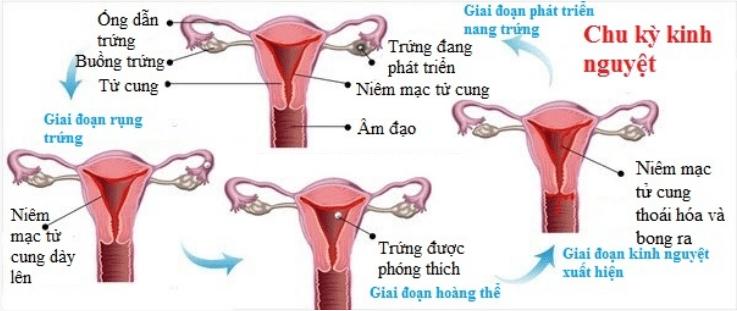 kinh nguyệt, chu kỳ kinh nguyệt, niêm mạc tử cung, nội tiết tuyến yên – buồng trứng, chảy máu