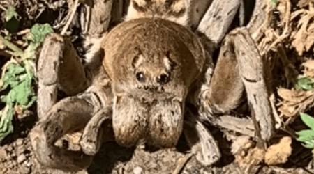 nhện sói, Nhện khổng lồ, bức ảnh lạ