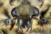 Trichiotinus assimilis, một loại bọ hung cánh cứng