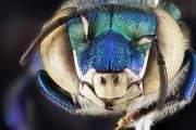 Một con ong phong lan đực từ Đài tưởng niệm quốc gia Biscayne ở Florida