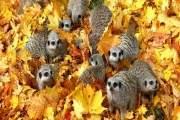 Một đàn mèo hồ (meerkats) trong đám lá thu vàng óng ả.