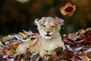 Chú sư tử con mê chơi đùa với lá.