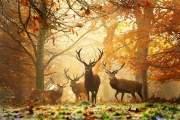Một đàn hươu dưới rừng lá đỏ tuyệt đẹp.