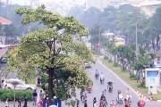 Phố Quang Trung, đường Nguyễn Du, Nguyễn Chí Thanh, Trần Duy Hưng, Duy Tân… là những con phố Hà Nội đẹp hơn khi mùa hoa sữa đến.