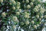 Hoa sữa có mùi thơm nếu trồng với mật độ vừa phải và nồng nặc khi trồng với mật độ cao.