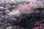 Khu rừng mận ở Nhật Bản trong sự dịch chuyển của ánh nắng buổi sáng.