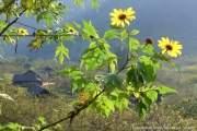 Ngoài cải trắng, đây cũng là thời điểm của hoa dã quỳ.