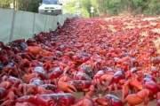 Cuộc di cư nổi tiếng hàng năm của đàn cua đỏ ở đảo Chrisrmas, Australia.