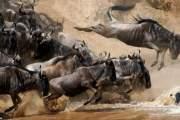 Cuộc di cư bão táp của linh dương đầu bò.