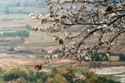Các địa điểm có nhiều hoa ban là khu vực thị trấn Mộc Châu, Sơn La và Điện Biên.