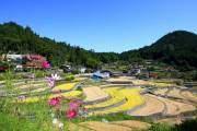 Không chỉ sở hữu hàng trăm thửa ruộng bậc thang tuyệt đẹp, thị trấn Ini Tanada ở Hiroshima còn nổi tiếng bởi những hạt gạo thơm ngon.