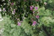Sắc hoa nhuộm tím những con đường