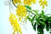Muồng hoàng yến nhuộm vàng góc phố Hà Nội