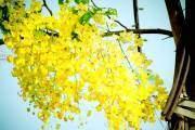 Khi cái nắng hè bắt đầu gay gắt cũng là lúc những chùm hoa vàng rực này bung nở.