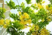 Loài hoa mang vẻ đẹp mong manh mà kiêu sa này có nguồn gốc từ đất nước Chùa Vàng