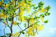 Những chùm hoa vàng nổi bật trên nền trời xanh thăm thẳm.