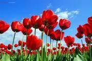 Giữa tháng 4 là mùa hoa Tulip của thành phố La Corner ở phía bắc của tiểu bang Washington. Tại đây có các nông trại với những cánh đồng hoa tulip bạt ngàn.