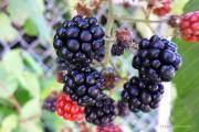 Cây dâu đen (blackberry) rất dễ phát triển và lại có nhiều gai nên được trồng nhiều để làm hàng rào.
