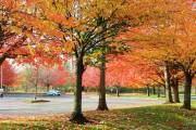 Bắt đầu từ giữa tháng 9. những chiếc lá phong đầu tiên bắt đầu chuyển sang màu đỏ rực, sau đó là hàng sồi, bạch dương.