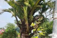 dừa lạ, bến tre, dừa trổ cây con, quý hiếm