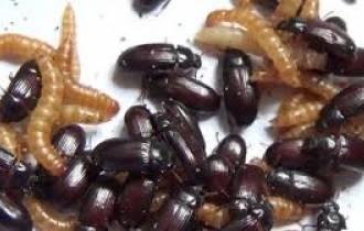 Phụ nữ, ăn bọ sống, để chống ung thư, cứa sổ tình yêu.