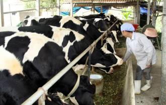 Nông dân, làm giàu, từ nuôi bò sữa, cửa sổ tình yêu.