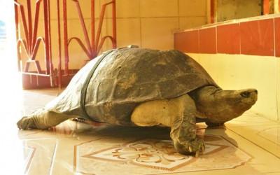 """Lạ kỳ ngôi chùa có những """"cụ"""" rùa trăm tuổi... ăn chay, ngủ mùng"""