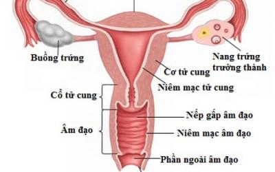 cấu tạo âm đạo, sinh lý âm đạo, cơ quan sinh dục, sinh sản
