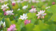 """Mùa hoa sen ở Hải Phòng đẹp """"nao lòng"""" dân mê chụp ảnh"""