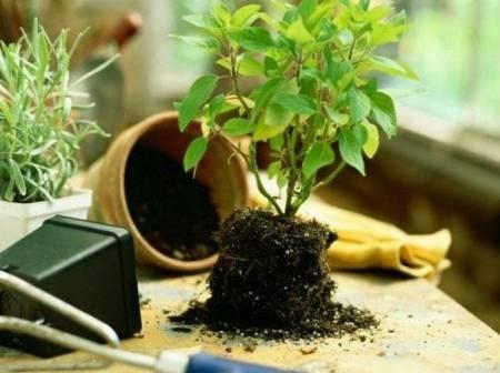 chăm sóc cây cảnh, mẹo vặt gia đình, mẹo vặt, cây cảnh, mẹo phục hồi cây, cua so tinh yeu