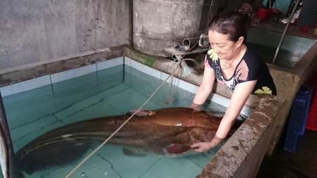 Cần thủ, câu được con cá leo, nặng 80kg, cửa sổ tình yêu.