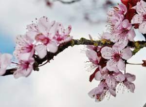Hình ảnh hoa đào đẹp  ,  Hình ảnh hoa đẹp  ,  Hình ảnh đẹp ,   Tổng hợp , những hình ảnh,  hoa đào ,ngày Tết , đẹp nhất