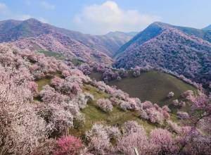hoa mơ, Apricot Valley ,ở Tân Cương, Trung Quốc