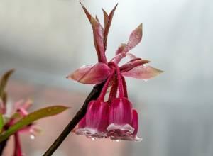 hoa đào chuông, mùa xuân, thanh khiết, rực rỡ