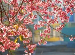 Mai anh đào, mùa xuân, đà lạt, rực hồng, biểu tượng mùa xuân