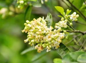 hoa bưởi tháng 3, tinh khiết, nét đẹp Hà Thành, thơm dịu