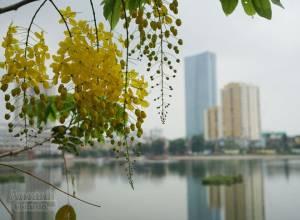 ảnh đẹp, hoa muồng hoàng yến, Hà Nội, cua so tinh yeu
