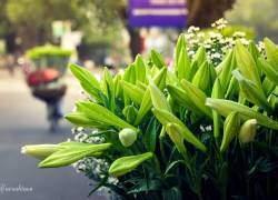 Hoa loa kèn,  hoa tháng 4, hoa hà nội, hoa đầu mùa,  đường phố hà nội