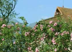 Hoa hồng, tháng 4, mùa hoa hồng, sa pa, hoa đẹp, cảnh đẹp, cảnh đẹp tháng 4